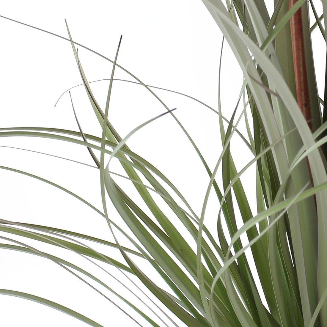 "Декоративное растение ""Мауве"" [06850],"