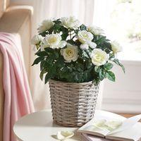 """Декоративное растение """"Белые розы"""" [08009],"""